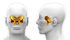 Male Sphenoid Skull Anatomy - isolated on white Stock Photo