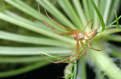 Male spider Stock Photo