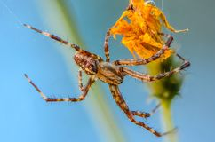 The male spider araneus. Widely spread your legs Royalty Free Stock Photos
