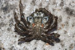 Male spider crab Stock Image