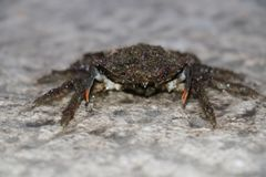 Male spider crab Royalty Free Stock Photo