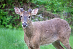 Male spike deer. Buck deer with velvet on symmetrical spike antlers in a clearing in early evening Stock Images