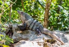 Male spiny-tailed Iguana Ctenosaura similis. Spiny-tailed Iguana Ctenosaura similis relaxing in the shade Stock Photo