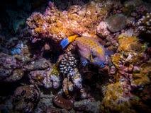 Male Spotted Boxfish at night. Maldivian coast stock photography