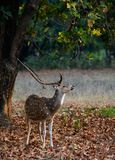 Male  Spotted Deer (Axis axis). Stock Image