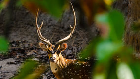 Male Spotted deer - frame. Spotted deer (Axis axis), Bandhavgarh National Park,  India Royalty Free Stock Photography
