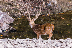 Male Spotted Deer With Big horn. Male spotted deer after quenching thirst in a water body at Ranthambore Royalty Free Stock Photo
