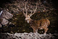 Male Spotted Deer With Big horn. Male spotted deer after quenching thirst in a water body at Ranthambore Royalty Free Stock Images