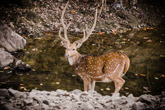 Male Spotted Deer With Big horn. Male spotted deer after quenching thirst in a water body at Ranthambore Stock Image