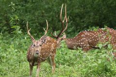 Male spotted deer chital in green forest. Male spotted deer in green forest feeding image the animal with large horn Royalty Free Stock Image