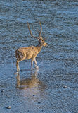 Male spotted Deer. Spotted deer crossing river in the forest Stock Photo