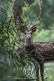 Male Spotted Deer in his natural habitat. Looks of a professional model royalty free stock image