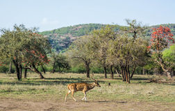 Male spotted deer Royalty Free Stock Photo