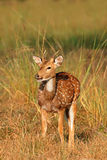 Male spotted deer. A young male spotted deer or chital (Axis axis), Kanha National Park, India Stock Photography
