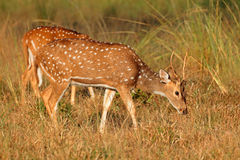 Male spotted deer. A young male spotted deer or chital (Axis axis), Kanha National Park, India Stock Photo