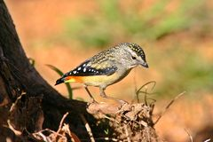 Male Spotted Pardalote Royalty Free Stock Photography