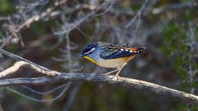 Male Spotted Pardalote royalty free stock image