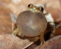 Male Spring Peeper Calling. Male Spring Peeper (Pseudacris crucifer) with Vocal Sac Inflated  Calling for a Mate Stock Photography