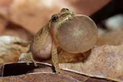 Male Spring Peeper Singing in Spring. Male Spring Peeper (Pseudacris crucifer) With Vocal Sac Inflated as it Sings Royalty Free Stock Image