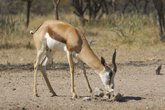 Male Springbok. A male springbok in Namibia at a salt block Royalty Free Stock Photography