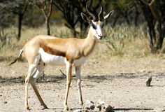 Male Springbok. A male springbok in Namibia Royalty Free Stock Photos