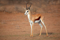 Male springbok antelope. A male springbok antelope (Antidorcas marsupialis), Kalahari desert, South Africa Royalty Free Stock Photo