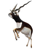 Male Springbok (Antidorcas marsupialis). Isolated with clipping path Stock Image