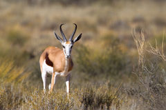Male Springbok in dry grassland. A male Springbok standing in dry grassland, Kalahari desert, South Africa Royalty Free Stock Photography