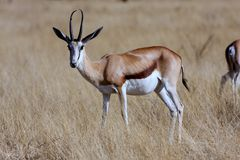 Male Springbok,Etosha National Park, Namibia. Adult male Springbok Antidorcas marsupialis, Etosha National Park, Namibia Royalty Free Stock Photos