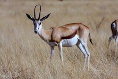 male Springbok,Etosha National Park, Namibia Royalty Free Stock Photos