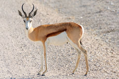 Male Springbok in Etosha National Park, Namibia. The springbok (Antidorcas marsupialis) is a medium-sized brown and white antelope-gazelle of southwestern Africa Royalty Free Stock Photo