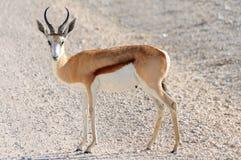 Male Springbok in Etosha National Park, Namibia. The springbok (Antidorcas marsupialis) is a medium-sized brown and white antelope-gazelle of southwestern Africa Royalty Free Stock Photo