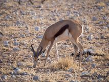 Male springbok feeding in rocky terrain at Palmwag Concession of Damaraland, Namibia, Southern Africa.  Royalty Free Stock Image