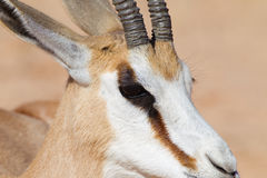 Male Springbok head close up. A Springbok (Antidorcas marsupialis) close up of the head, Kalahari desert, South Africa Stock Photography