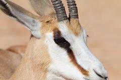 Male Springbok head close up. A Springbok (Antidorcas marsupialis) close up of the head, Kalahari desert, South Africa Stock Photography