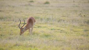 A male springbok with large horns aggressively grazes in a field stock video