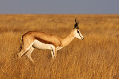 Male Springbok. A male springbok in savannah of Namibia Royalty Free Stock Photography