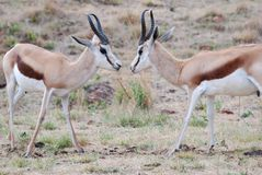 Male Springboks Fighting. Image of two young male springboks trying to establish dominance by fighting Stock Photos