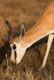 Male Springbuck. Male Springbok feeding on the African Grass Plains Stock Photo