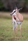 Male Springbuck Antelope. Of the African grassland Royalty Free Stock Photography