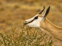 Male springbuck/ springbok grazing. Lovely image of male springbuck/ springbok grazing Royalty Free Stock Image