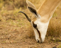 Male springbuck/ springbok grazing Stock Photo