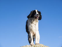 Male Springer Spaniel Stock Photos