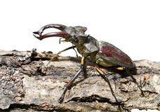 Male of Stag-beetle 1 Royalty Free Stock Photo