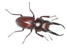 Male stag beetle Stock Photo
