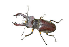 Male of Stag-beetle 12 Royalty Free Stock Photography