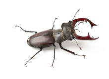 Male Stag Beetle. Brown black Stag Beetle with Red pincers, isolated Stock Photos