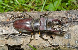 Male of Stag-beetle 19. A close up of the big stag-beetle. Male Stock Photo