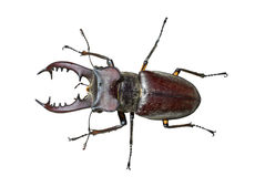 Male of Stag-beetle 3 Stock Photo
