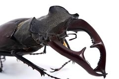 Male stag-beetle Stock Photography